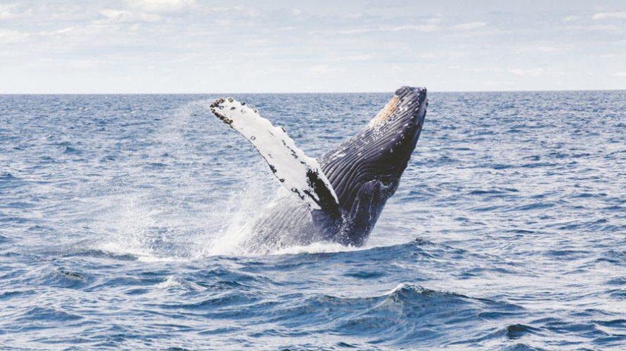 反捕鯨ってなんでやってるの?